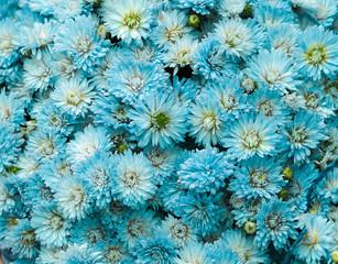 Bright little blue flowers bunch background/ Selective focus (Dahlia, flower, natural)