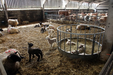 Lambs in lambing shed on a farm, Dartmoor National Park, Devon, England, United Kingdom, Europe