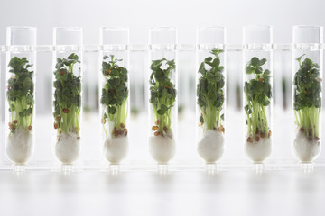 Cress seedlings growing in test tubes