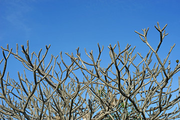 dry frangipani or plumeria tree