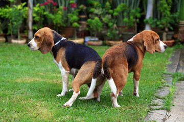 two purebred beagle dog making love in a garden