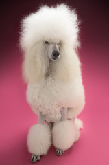 Full length of White Standard Poodle on pink background
