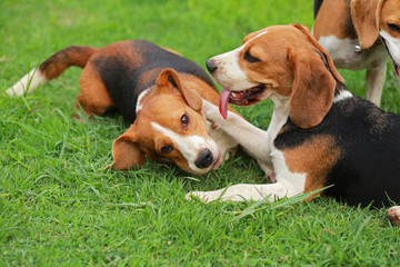 Happy beagle dogs playing in lawn