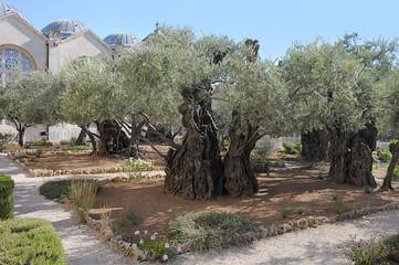 Old olive trees in the Garden of Gethsemane in Jerusalem