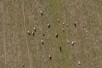 aerial view of herd of cows at summer green field
