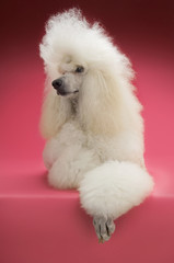 Full length of Standard Poodle lying on pink background