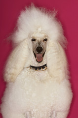 White Standard Poodle sitting on pink background