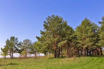 Landscape with pine trees on the edge of the forest.