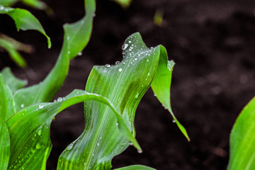 Corn leaves with drops after rain. Garden background with limited depth of field.