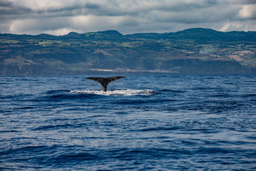 Whale Tail in Blue Ocean (Physeter macrocephalus)