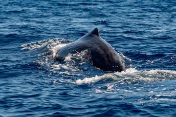 Whale spine in Blue Ocean (Physeter macrocephalus)
