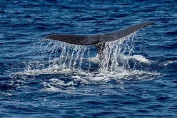 Whale Tail in Blue Ocean (Physeter macrocephalus)