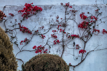 A concrete wall with branch of red flowers on it in a small town and evening street