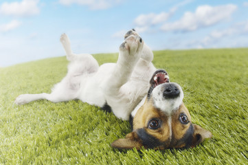 Jack Russell terrier lying on back in grass with extending paw