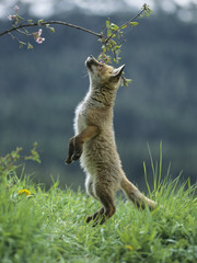 Fototapete - Fox cub on hind legs sniffing branch