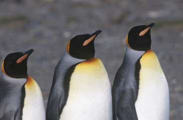 UK South Georgia Island three King Penguins standing side by side close up
