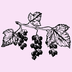 black currant, doodle style sketch illustration hand drawn vector