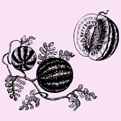 set watermelon doodle style sketch illustration hand drawn vector