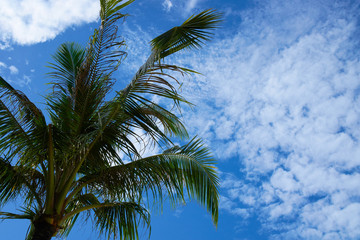coconut tree with blue sky