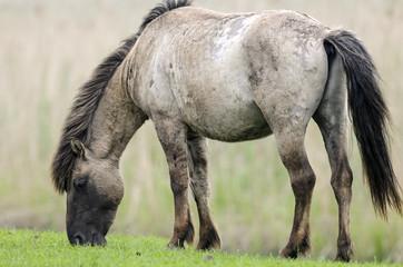 Cheval tarpan, Equus ferus ferus