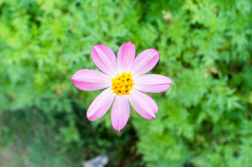 Cosmos caudatus flower also known in malay for Bunga Ulam Raja, captured during the evening