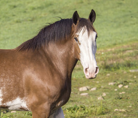Clydesdale horse with flies on face