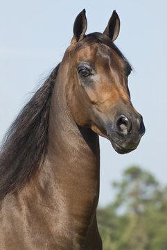 Head of chestnut Morgan Horse mare.