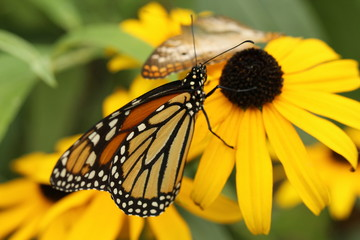butterflies on yellow flower