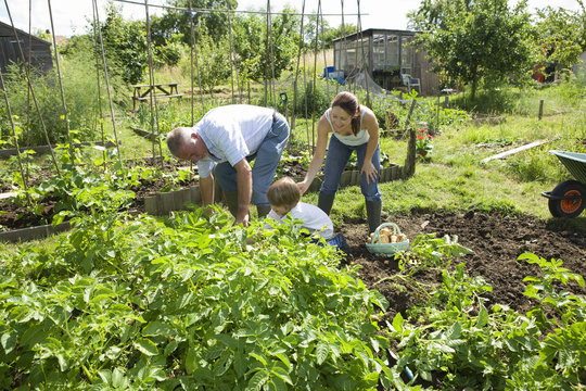 Boy with mother and grandfather gardening together in community garden