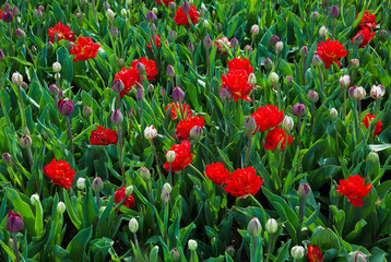 Double Tulips Flowers Growing in Flowerbed
