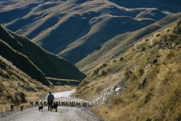 Shepherd herding flock of sheep through mountain pass, Glenorchy, South Island, New Zealand, Pacific