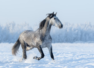Wall Mural - Grey Spanish horse runs trot in winter snowy field