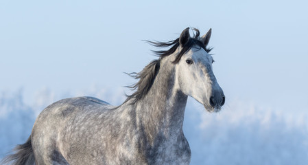 Wall Mural - Portrait of Spanish horse on background of blue sky