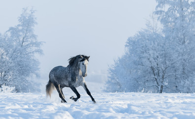 Fototapete - Winter snowy landscape. Galloping grey Spanish horse