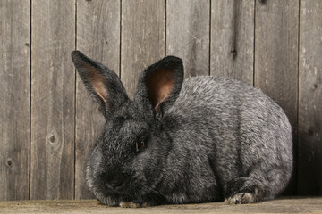 grey rabbit on a wooden background