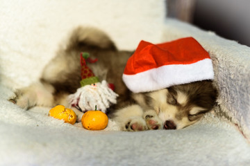 Wonderful one happy puppy Husky, has red Christmas hat