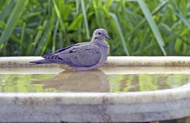 Eared dove bathing in fountain
