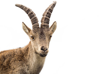 Young alpine ibex male portrait isolated on white