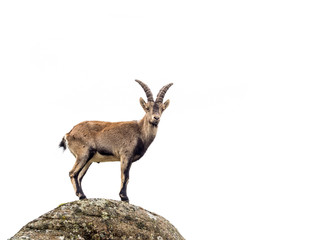 Young alpine ibex male isolated on white background