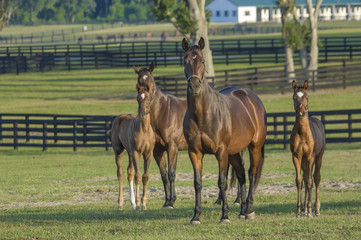 thoroughbred horse mares with foals in large pasture Wall mural