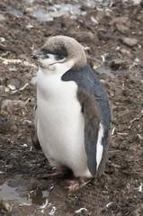 Chinstrap penguin, Hannah Point, Livingstone Island, South Shetland Islands, Polar Regions
