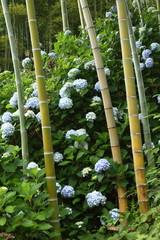 紫陽花と竹林