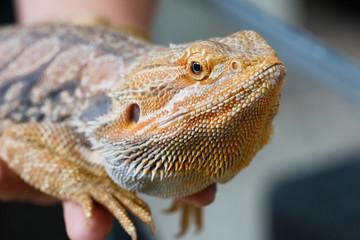 Bearded Dragon animal.