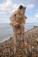 Side view of mixed breed dog shaking off water on pebble beach in Herne Bay, Kent