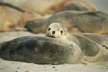 Close-up of an Australian sea lion, Seal Bay Conservation Park, Kangaroo Island, South Australia, Australia, Pacific