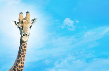 Giraffe with head in clouds,