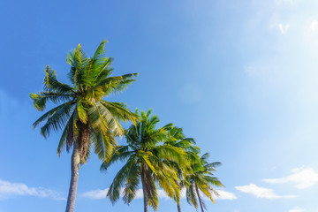 Tall coconut trees in the background blue color.