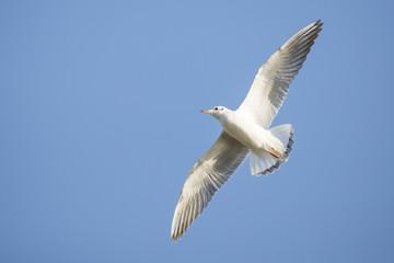 A black headed gull flying in the blue sky.
