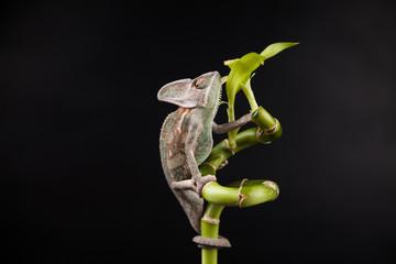 Foto auf Leinwand Chamaleon Kameleon