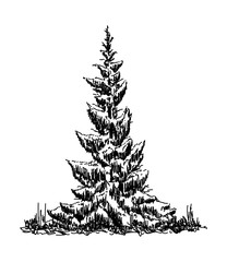 vector -three spruce trees at winter time